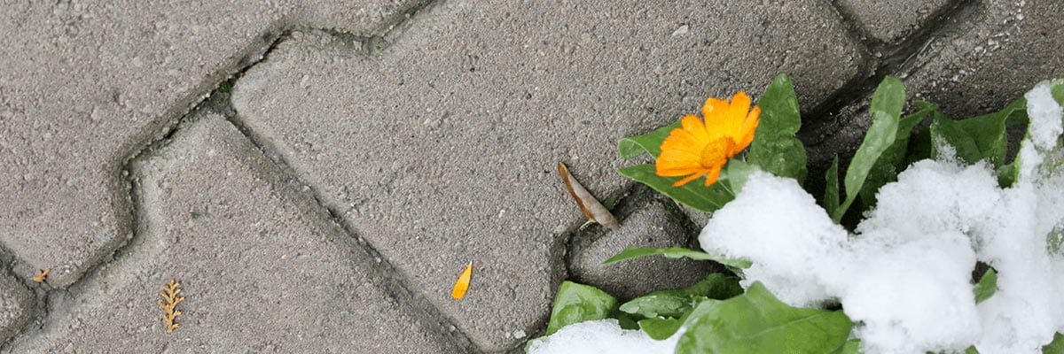 Benefits - Flower peeks out from snow on top of pavers